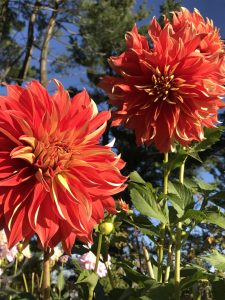 autumn dahlias