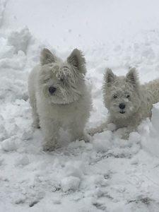 2 snowbunny westies